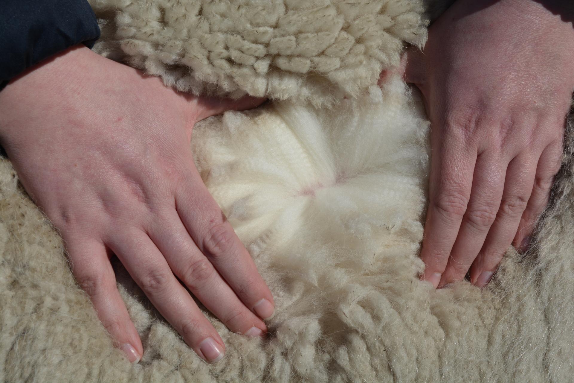 AlpacaOord Gold Rush — aangeboden door AlpacaOord