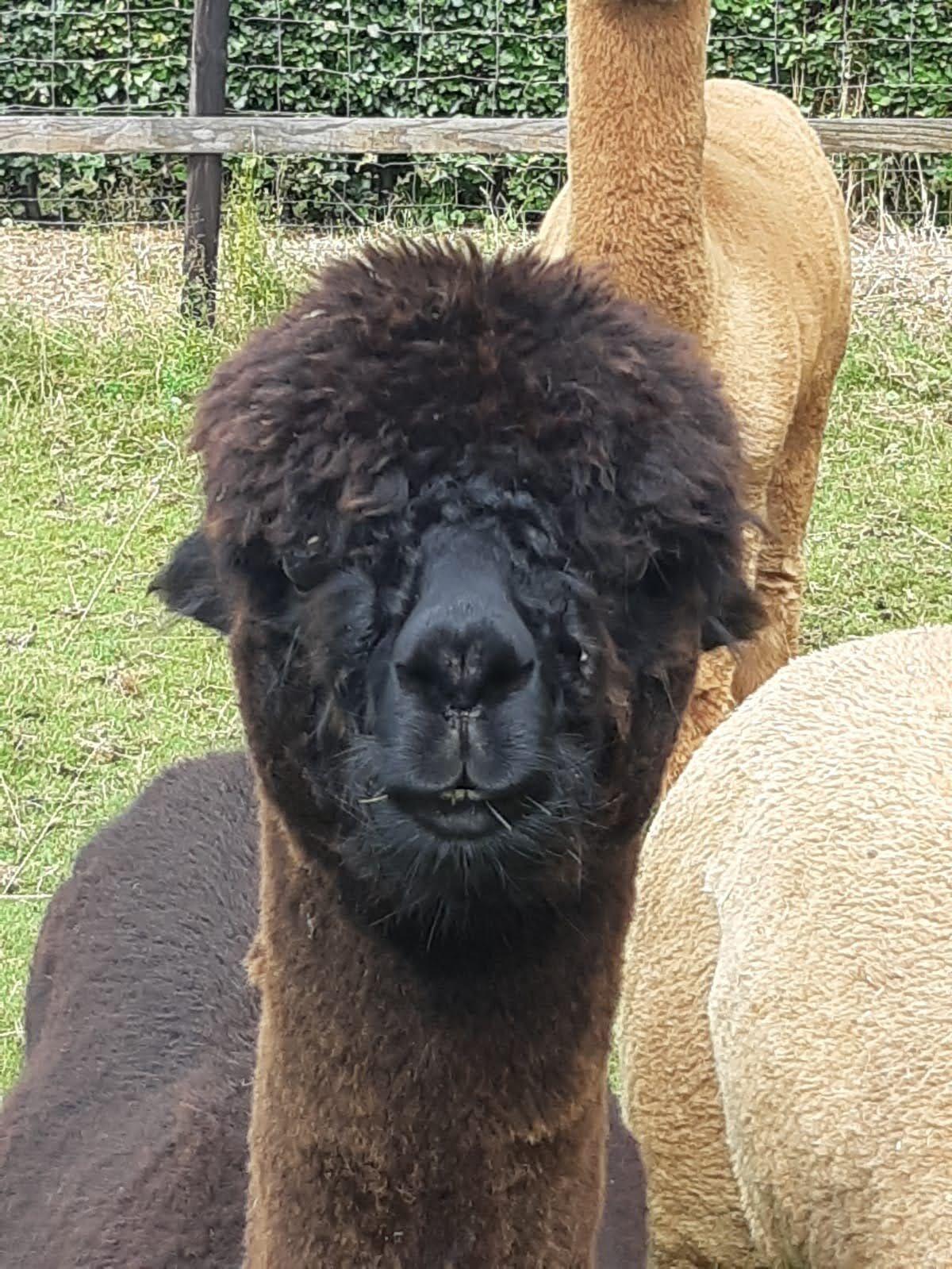 AOH Monty — aangeboden door AlpacaOord
