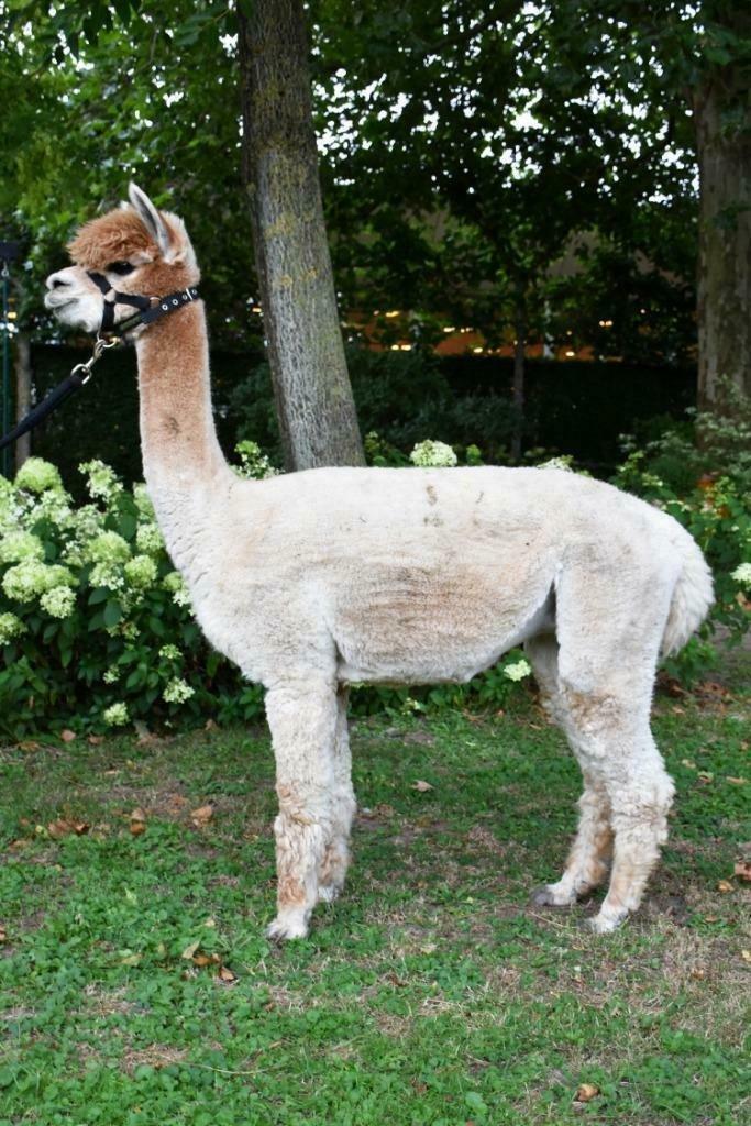 AOL Graziella — aangeboden door Dutch Highline Alpacas
