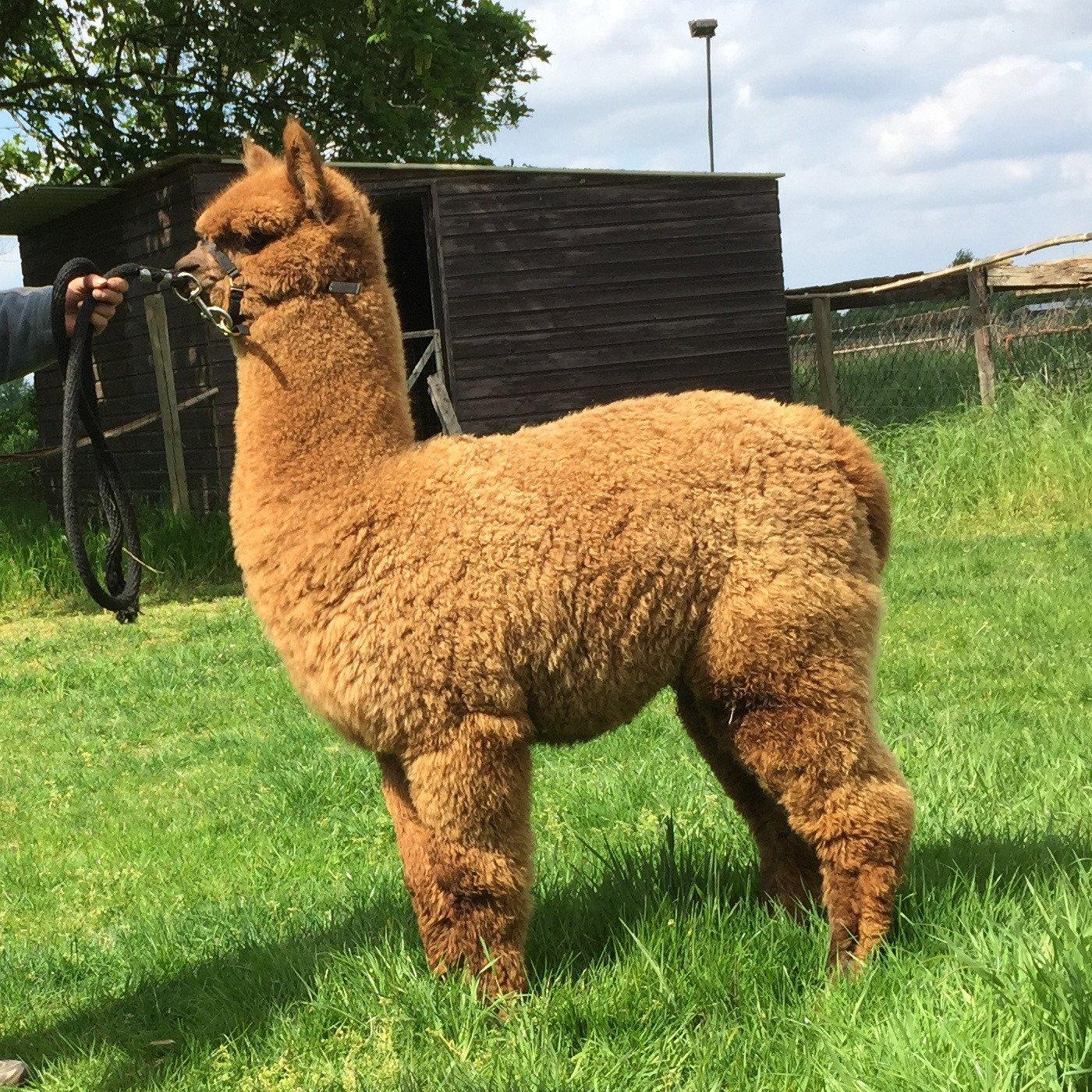 BAM Magic — aangeboden door Bamby Alpaca Farm