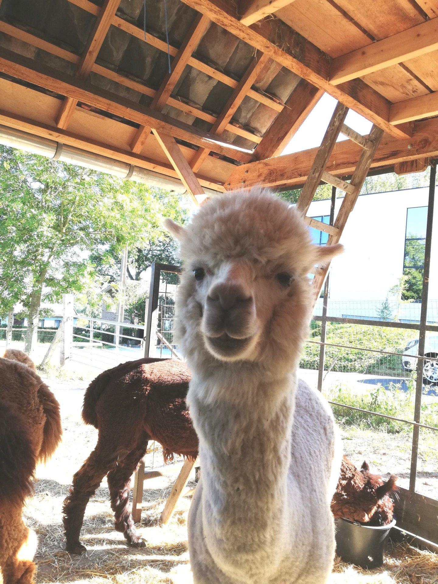 Chicco — aangeboden door Alpaca molenberg