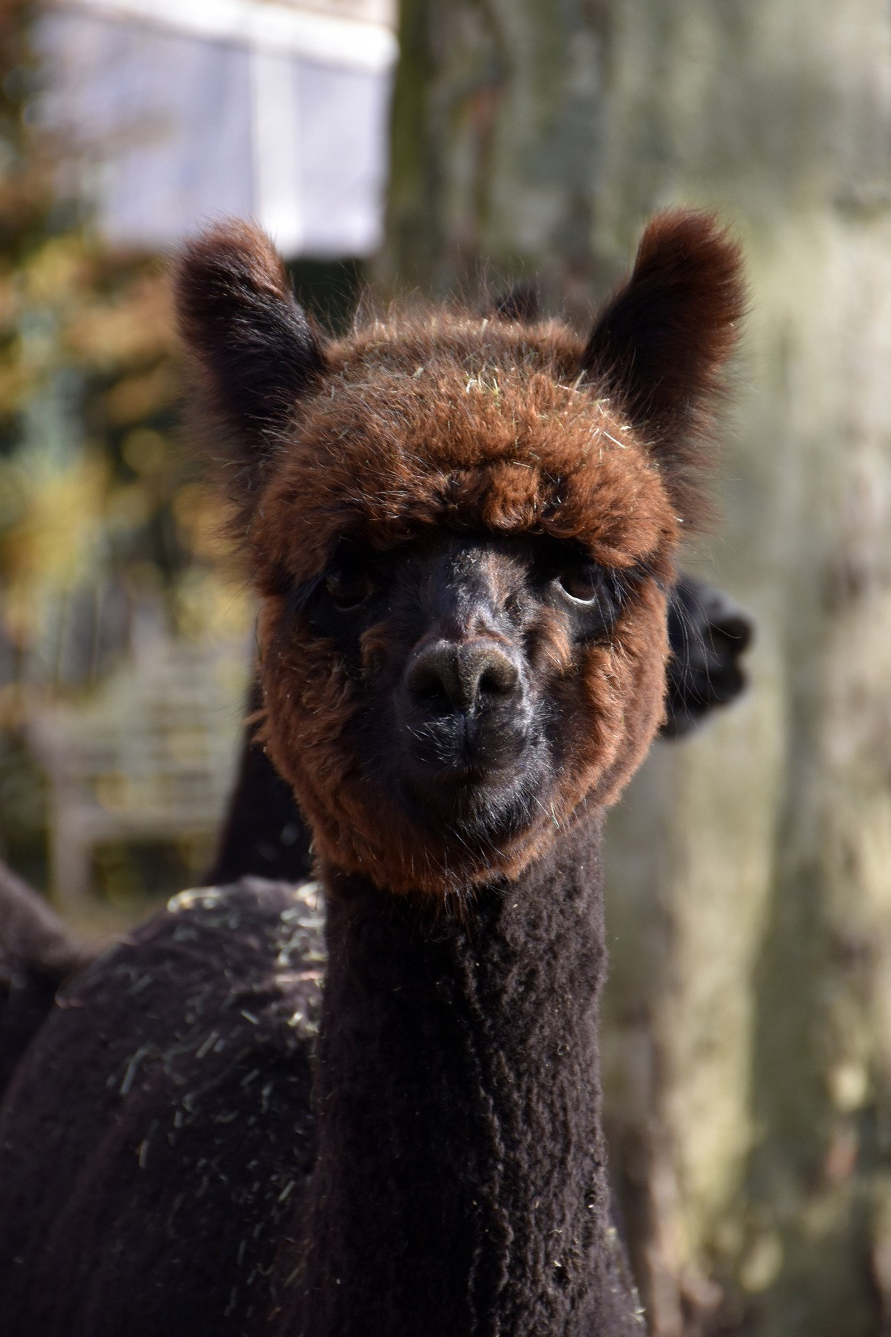 DHA Florida — aangeboden door Dutch Highline Alpacas