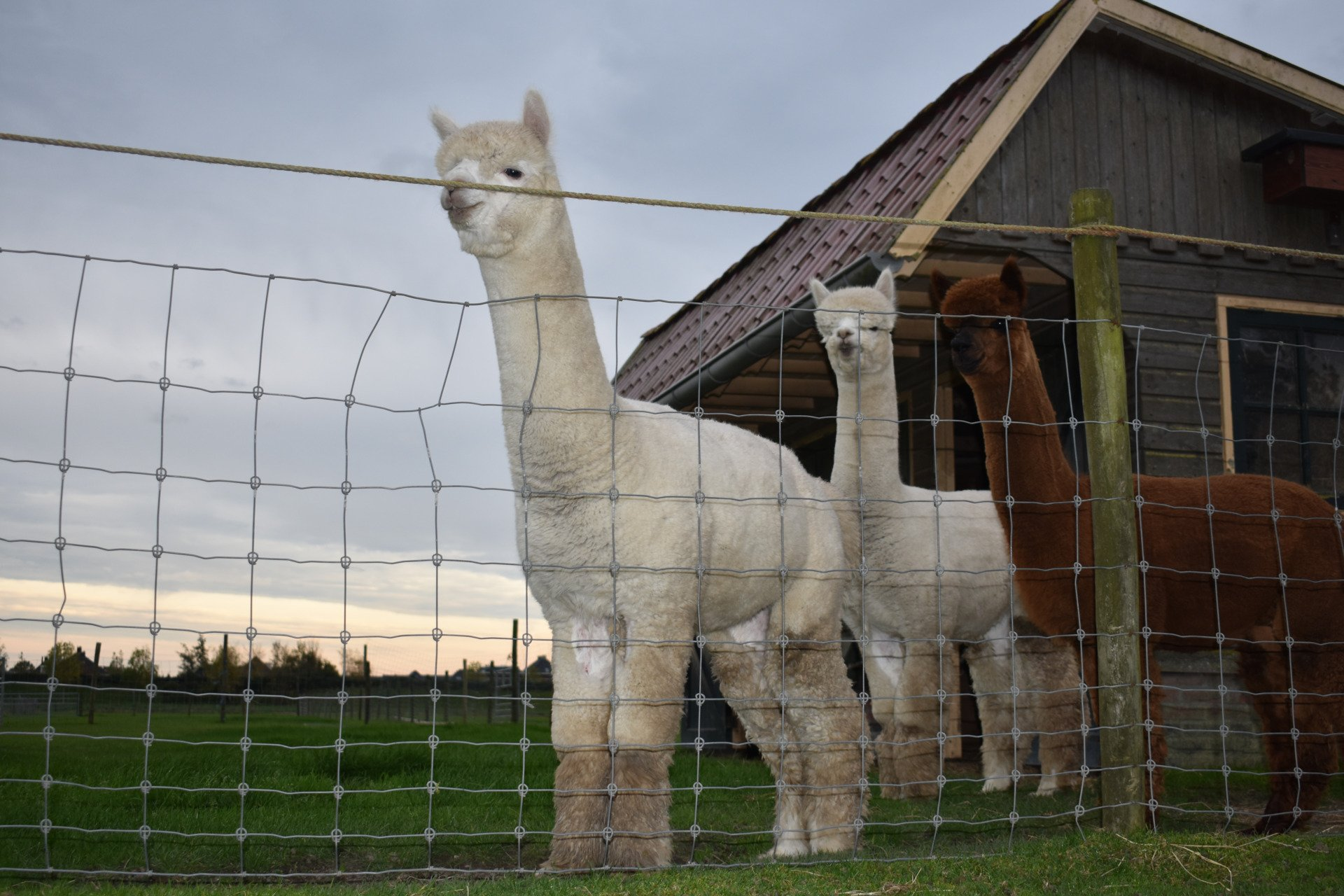 FAL Peruvian Jack of Diamonds — aangeboden door Farm Alpaca Ligthart