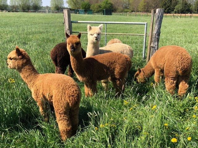 Ol Suspicious — aangeboden door Alpacas vom Hahnerfeld