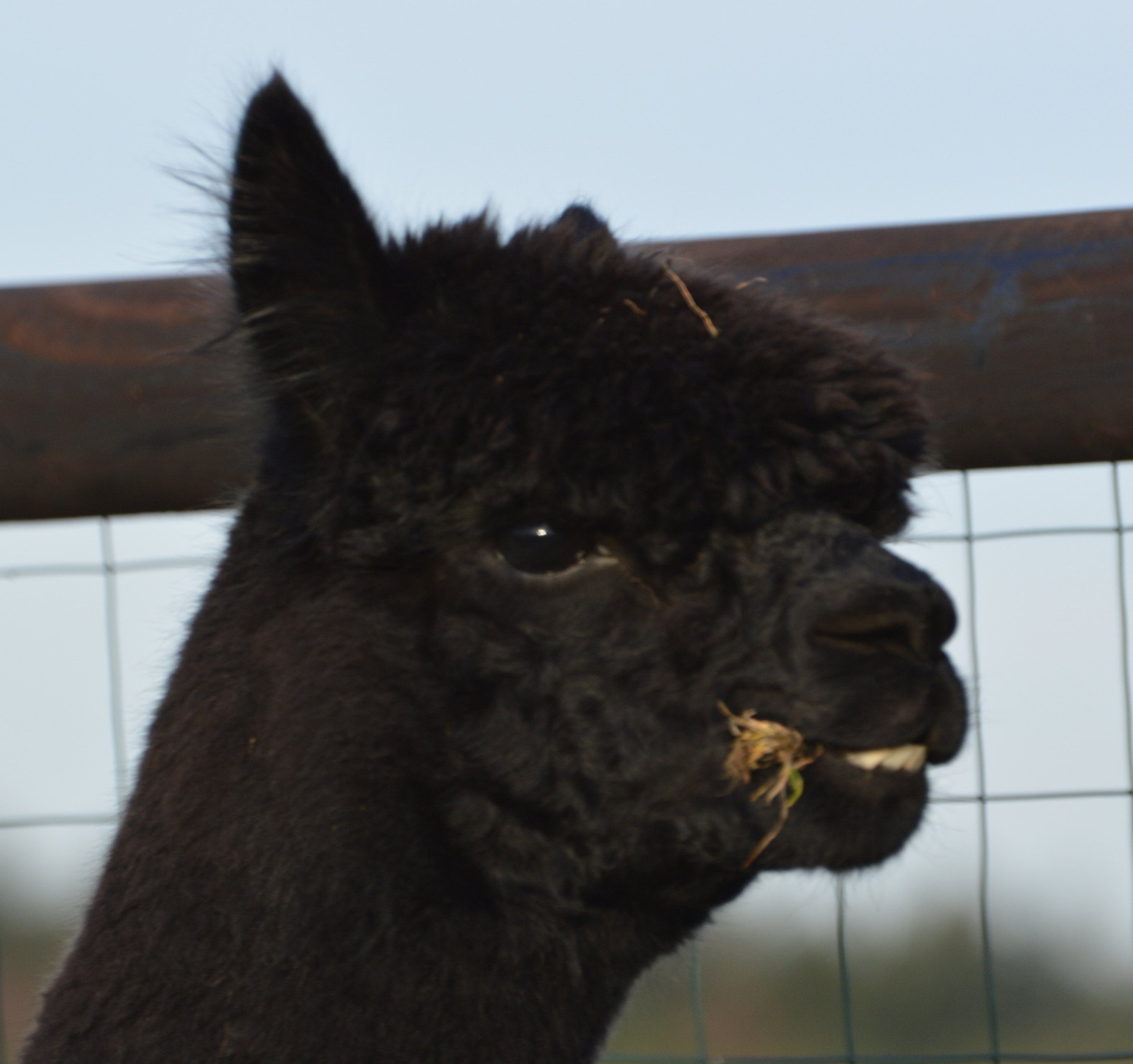 Quality Line Don Diego — aangeboden door Quality Line Alpacas