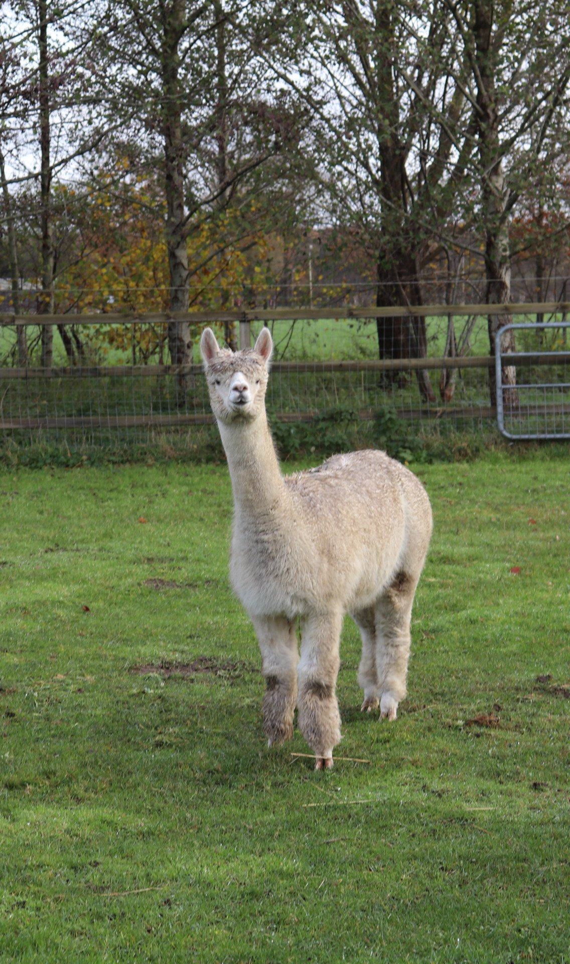 Shakira's Angel — aangeboden door Dushi Alpaca Estate