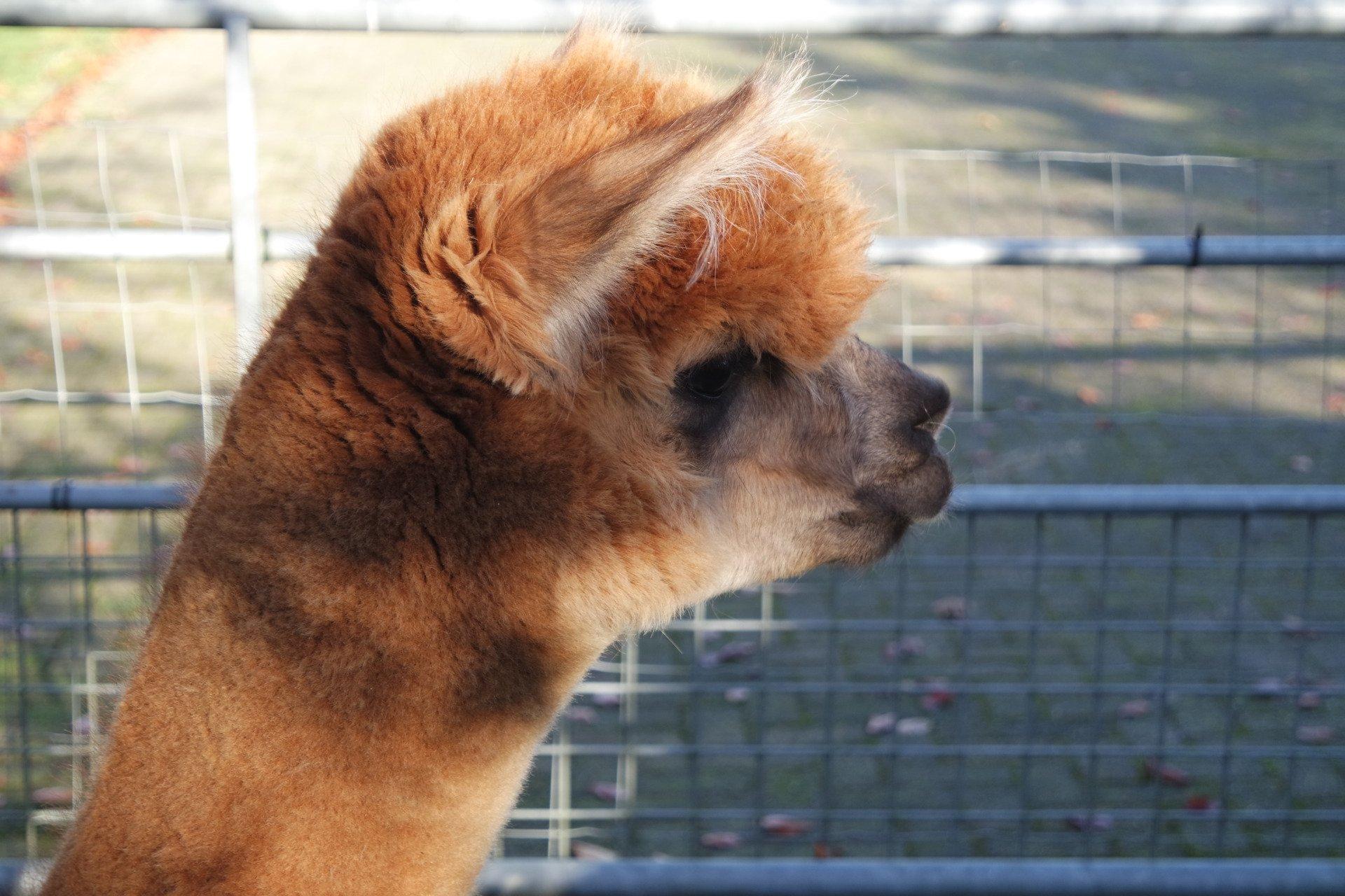 Shakira's Lex — aangeboden door Dushi Alpaca Estate