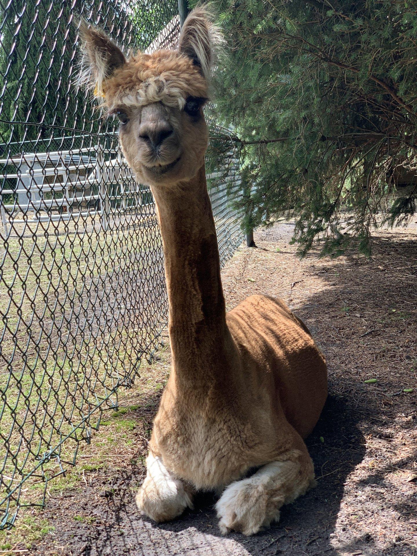 Toft Ikrit — aangeboden door Alpacamundo