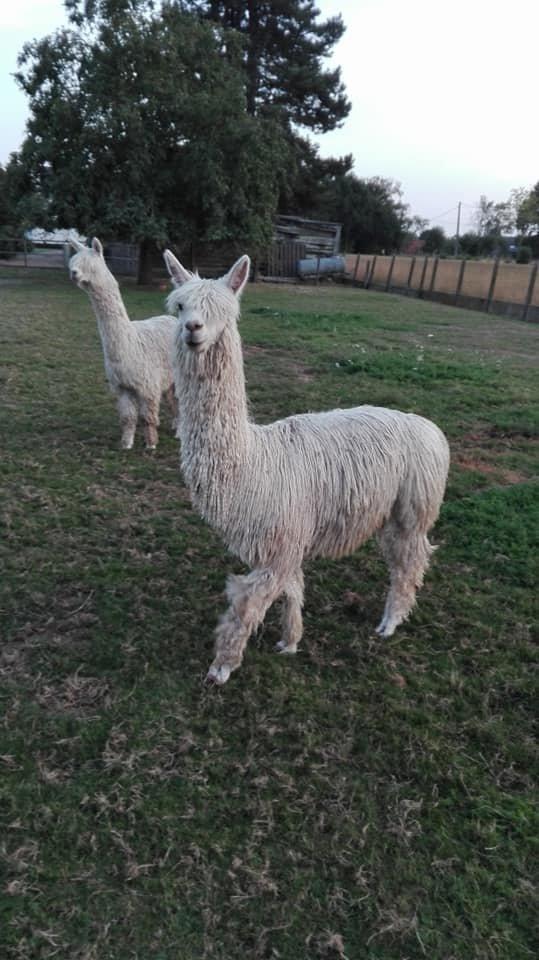 AE Doris — aangeboden door alpacalandgoed