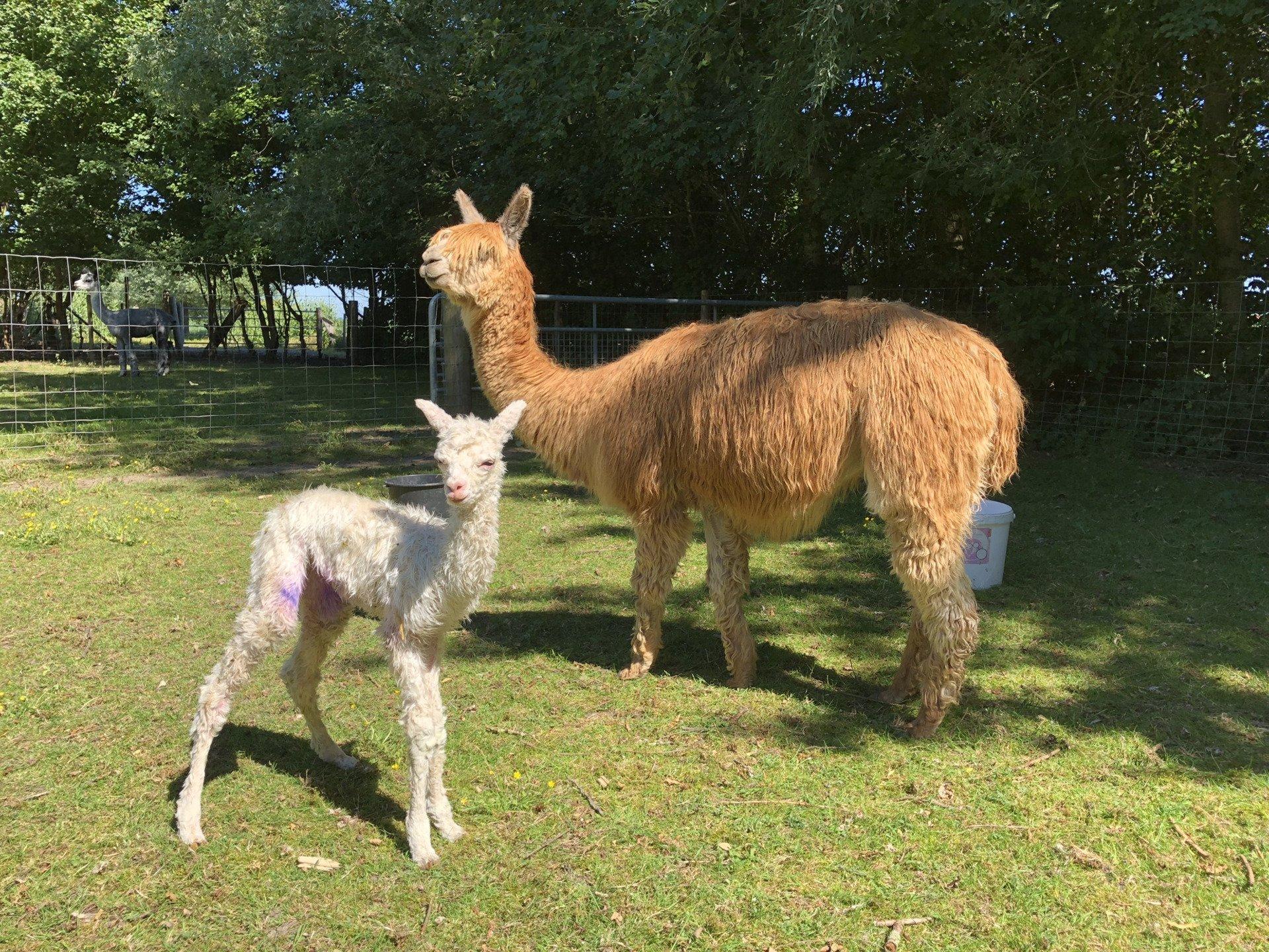 AE Nicolette — aangeboden door Alpaca & Falabella Ranch Rzadkiewa
