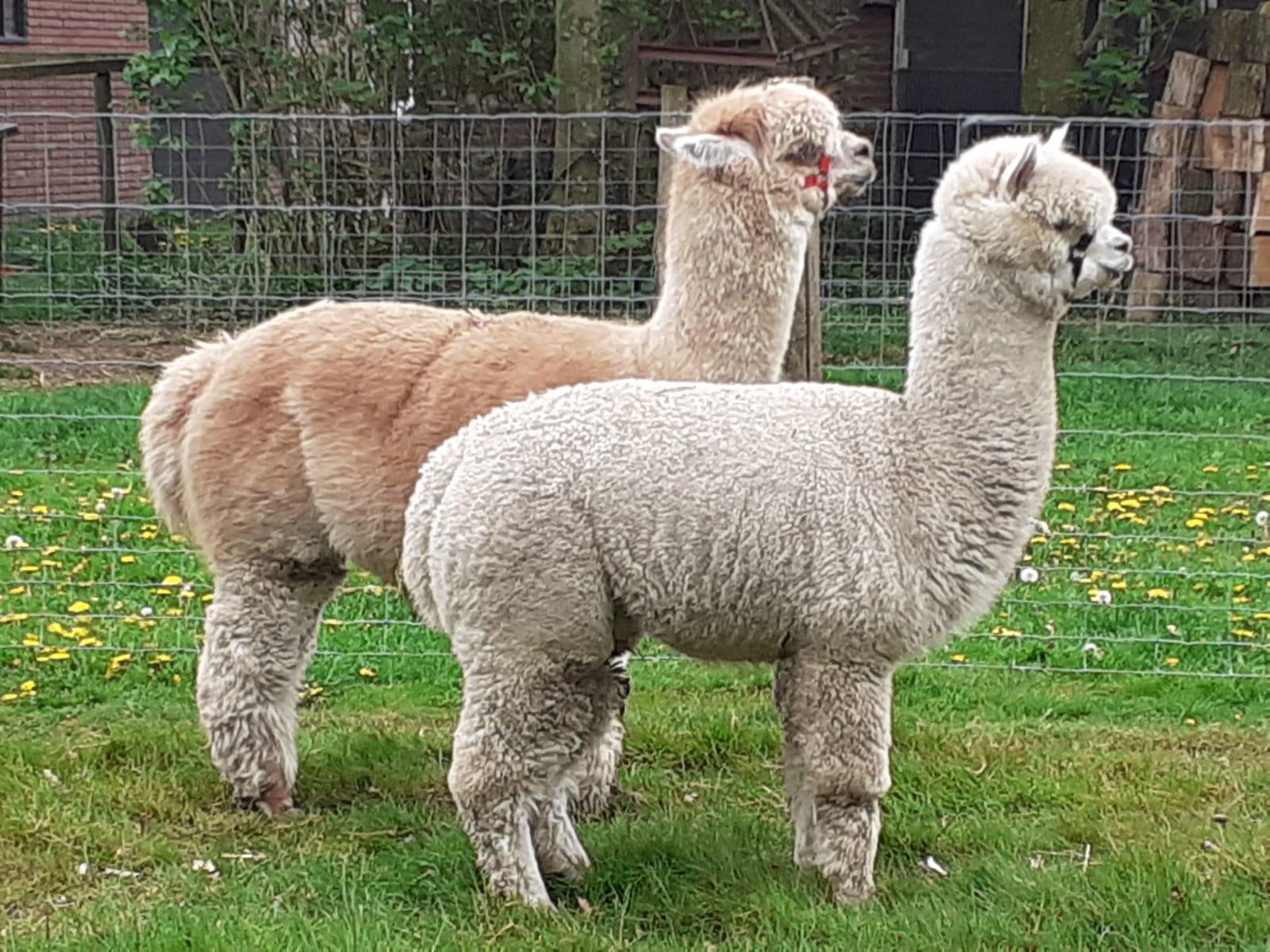 FAL Peruvian Apollo — aangeboden door De Vallei Alpaca's