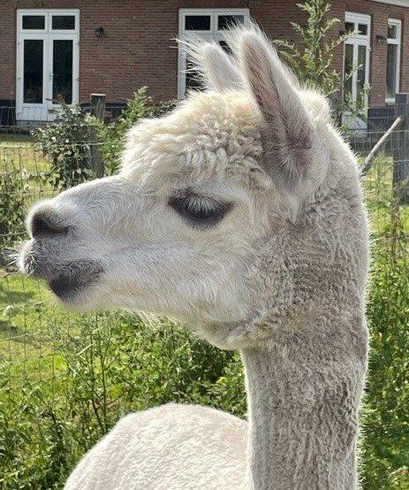 ACA Peppe — aangeboden door Alpacasa-dna
