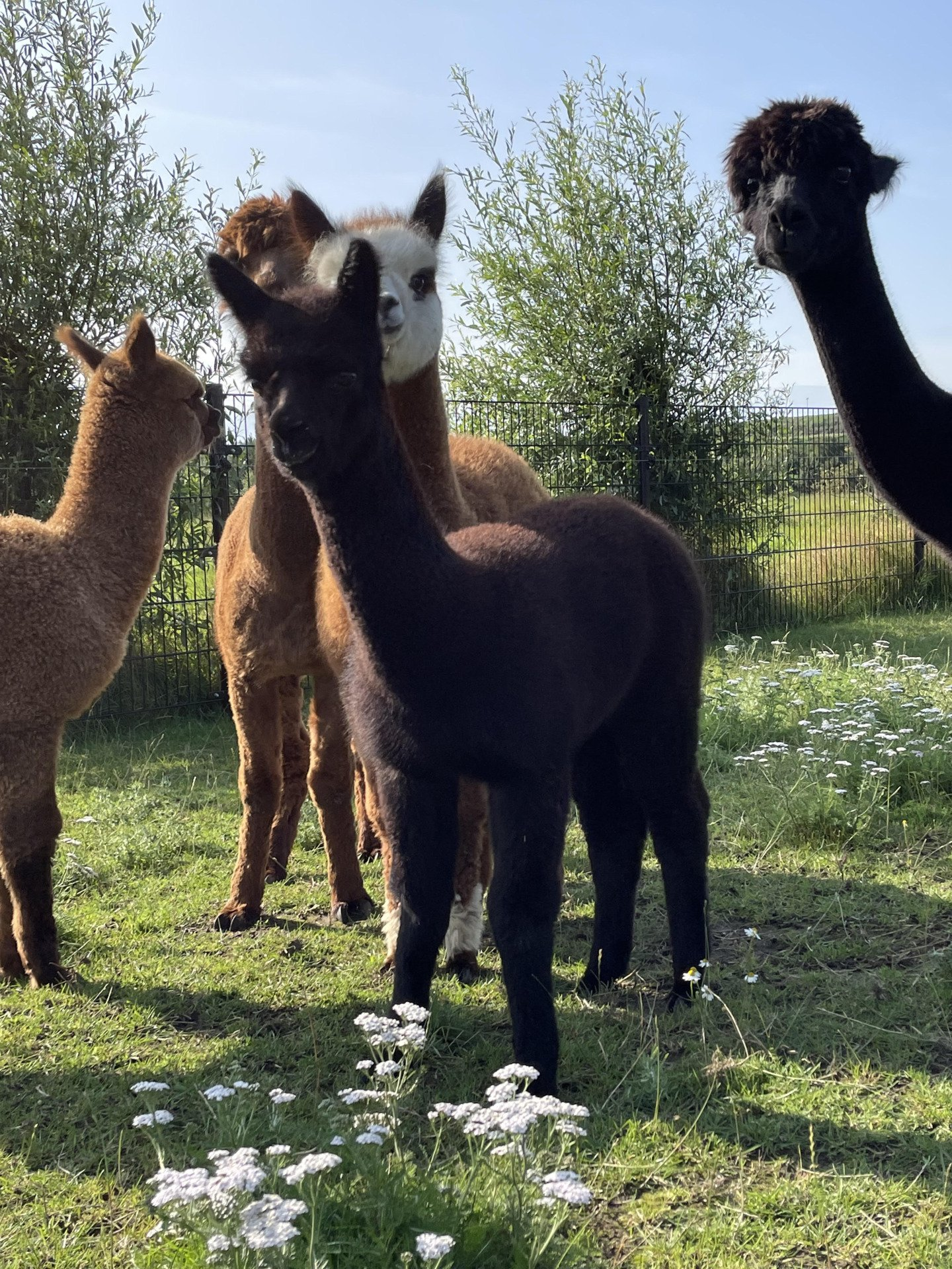 VUA Arie — aangeboden door Alpacas de Vundelaar