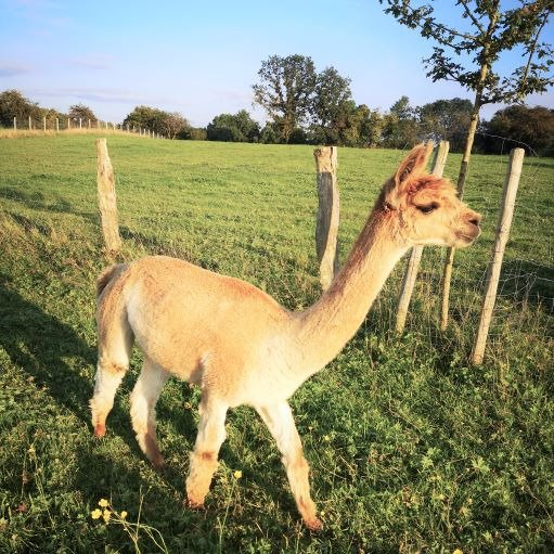 Fidzy des Tilleuls — aangeboden door Alpagas des Tilleuls