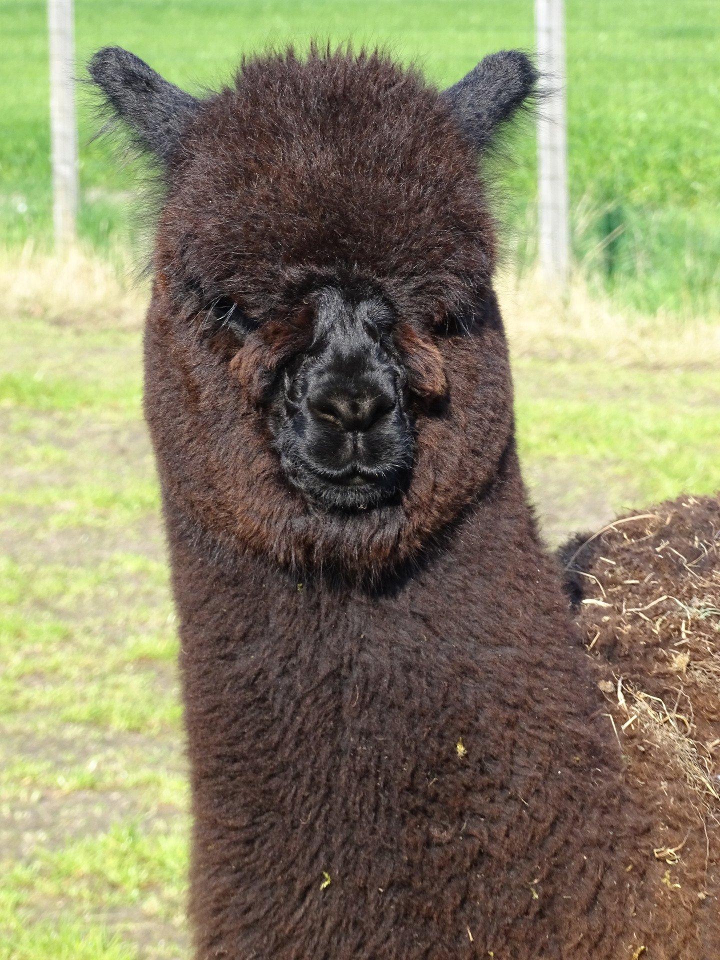 AF Ike — aangeboden door alpacafriends