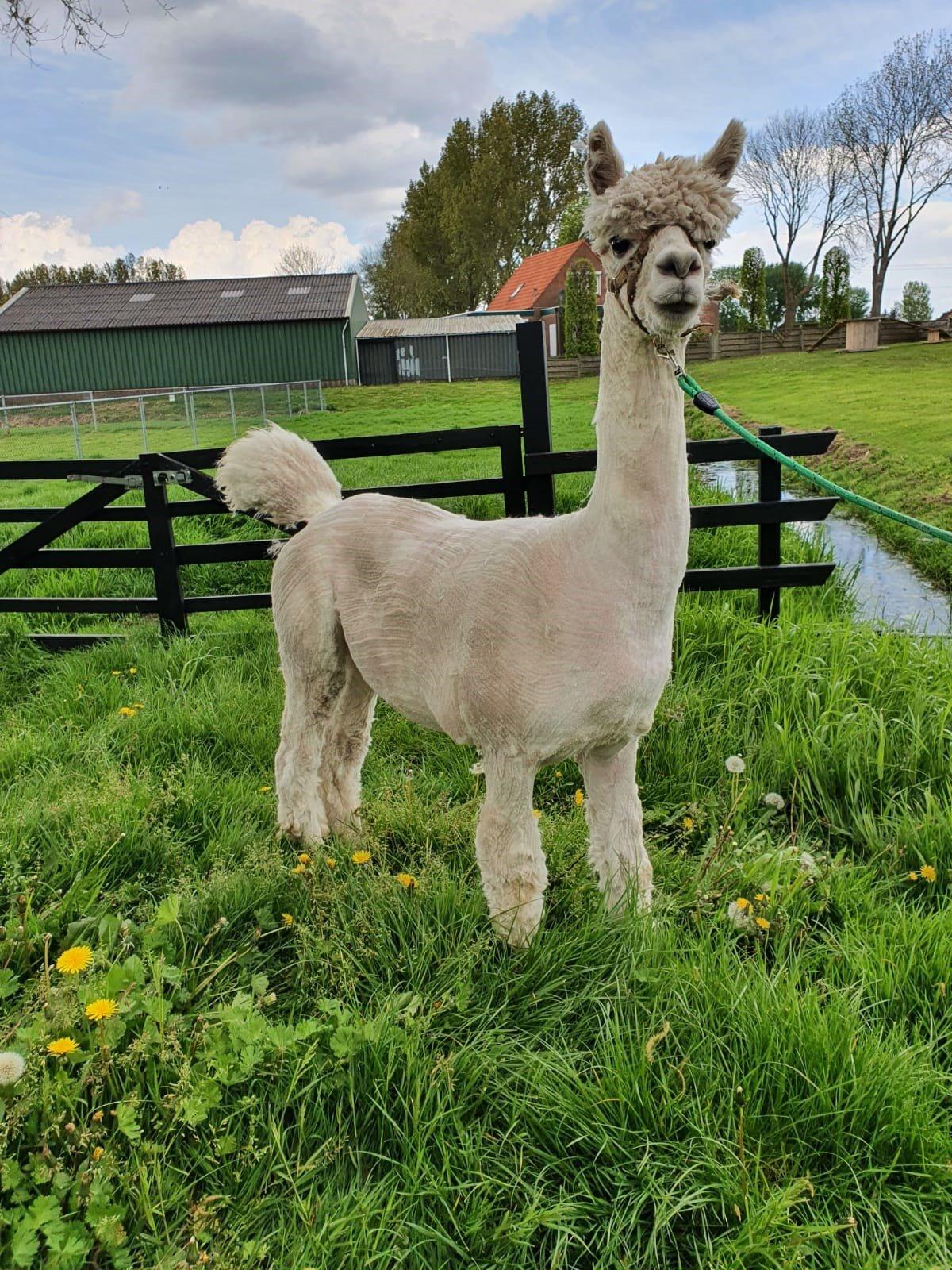 AIJ Maurtis — aangeboden door Alpaca IJsseldelta