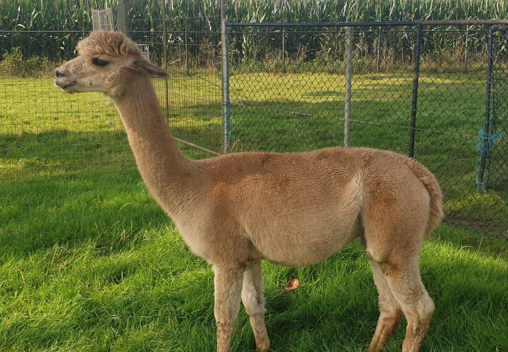 AO Novi — aangeboden door Alpaca-Overveld