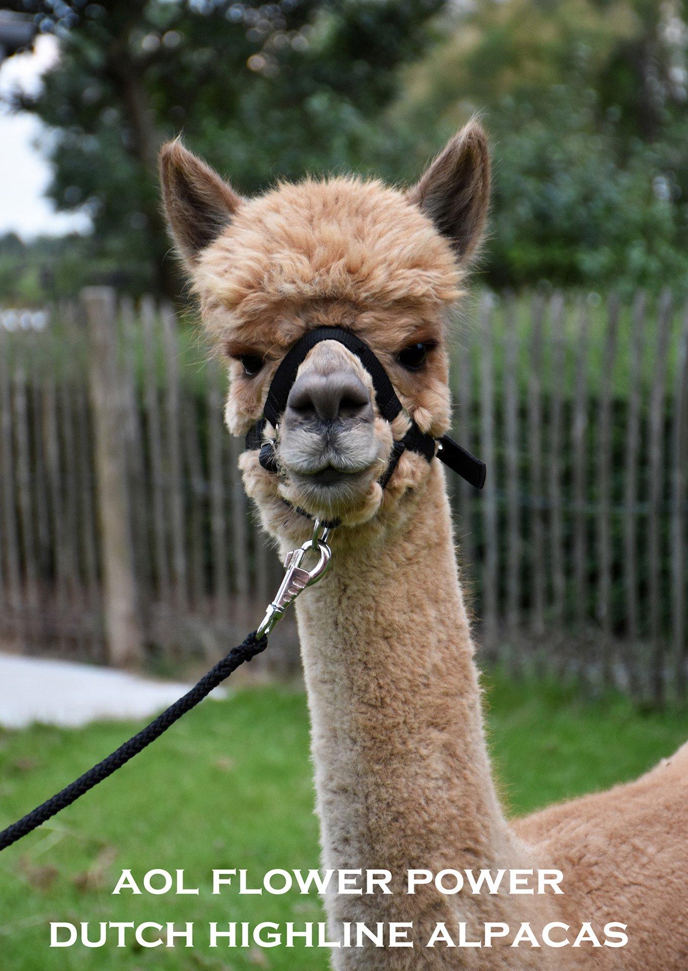 AOL FLOWER POWER — aangeboden door Dutch Highline Alpacas