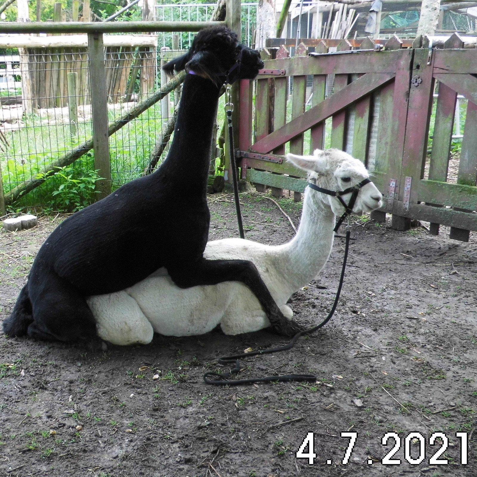 BAM Hera — aangeboden door Bamby Alpaca Farm