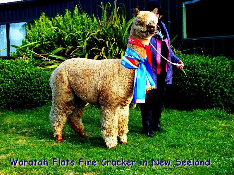 BAM Night Fire — aangeboden door Bamby Alpaca Farm