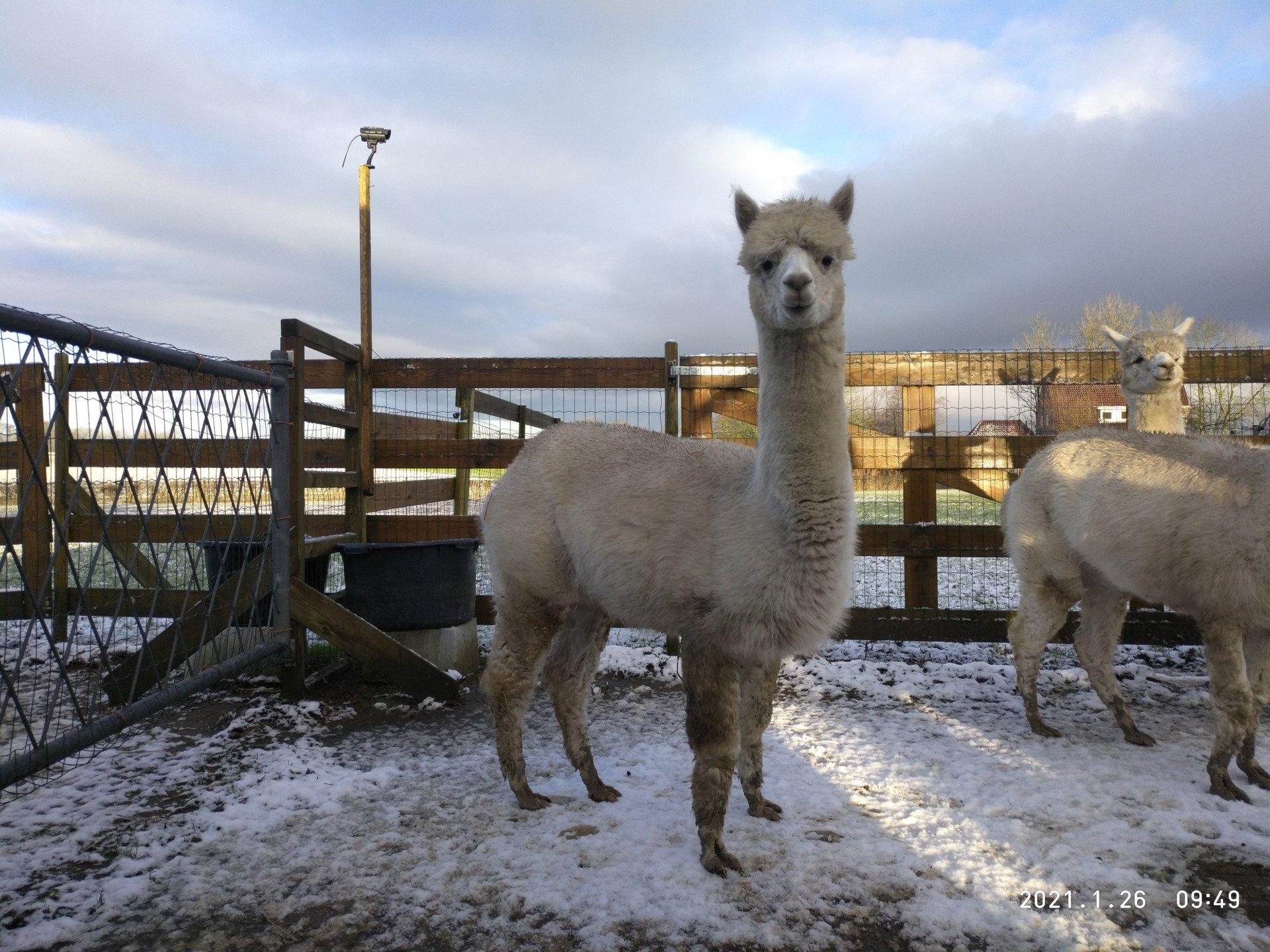 Bowyn (Bo) — aangeboden door AlpacaWarf