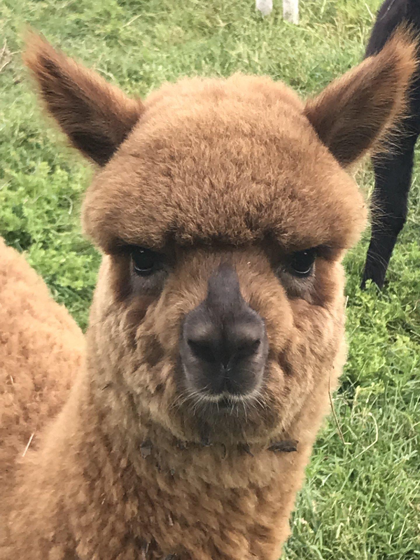 Cesar van het Avontuur — aangeboden door Alpacas van het Avontuur