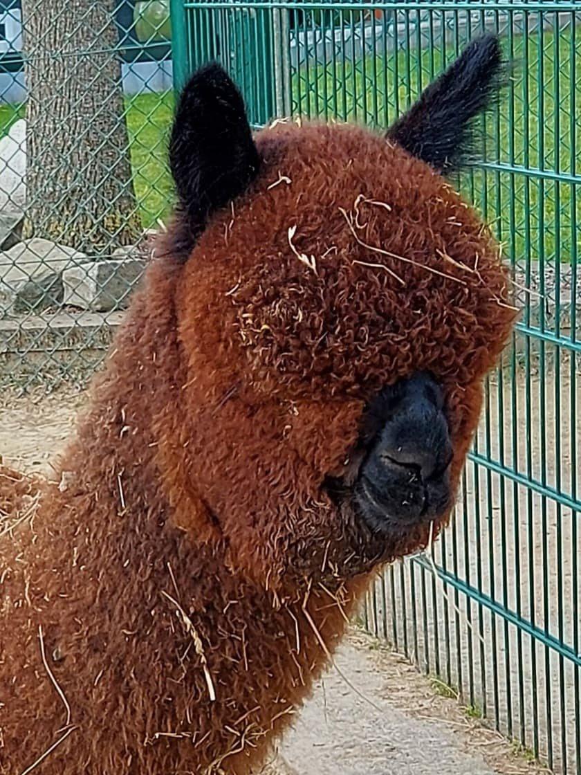 CU Black Forest — aangeboden door Alpacafarm Cuzco
