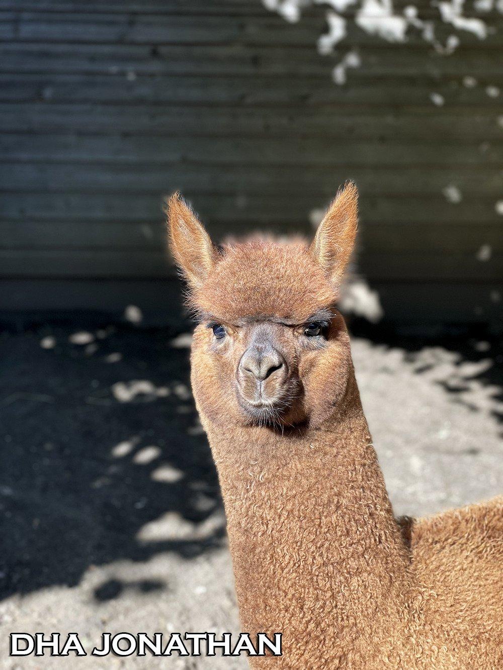 DHA JONATHAN — aangeboden door Dutch Highline Alpacas
