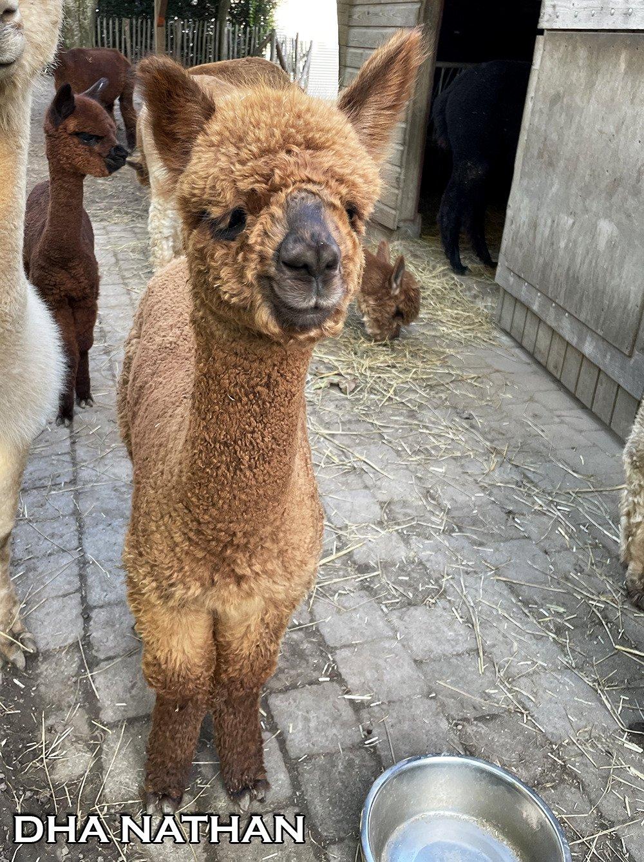 DHA NATHAN — aangeboden door Dutch Highline Alpacas