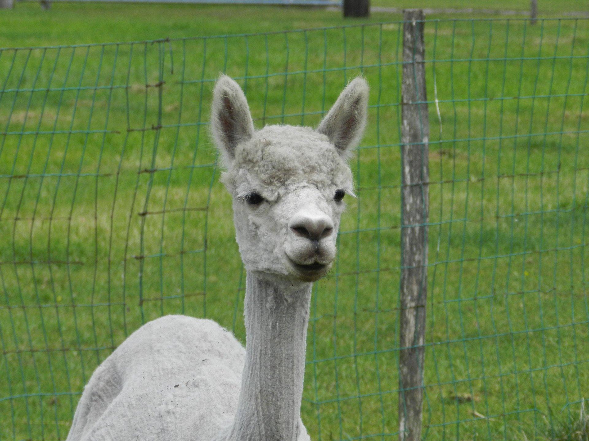 Emmerald Caro (Emmy) — aangeboden door AlpacaWarf
