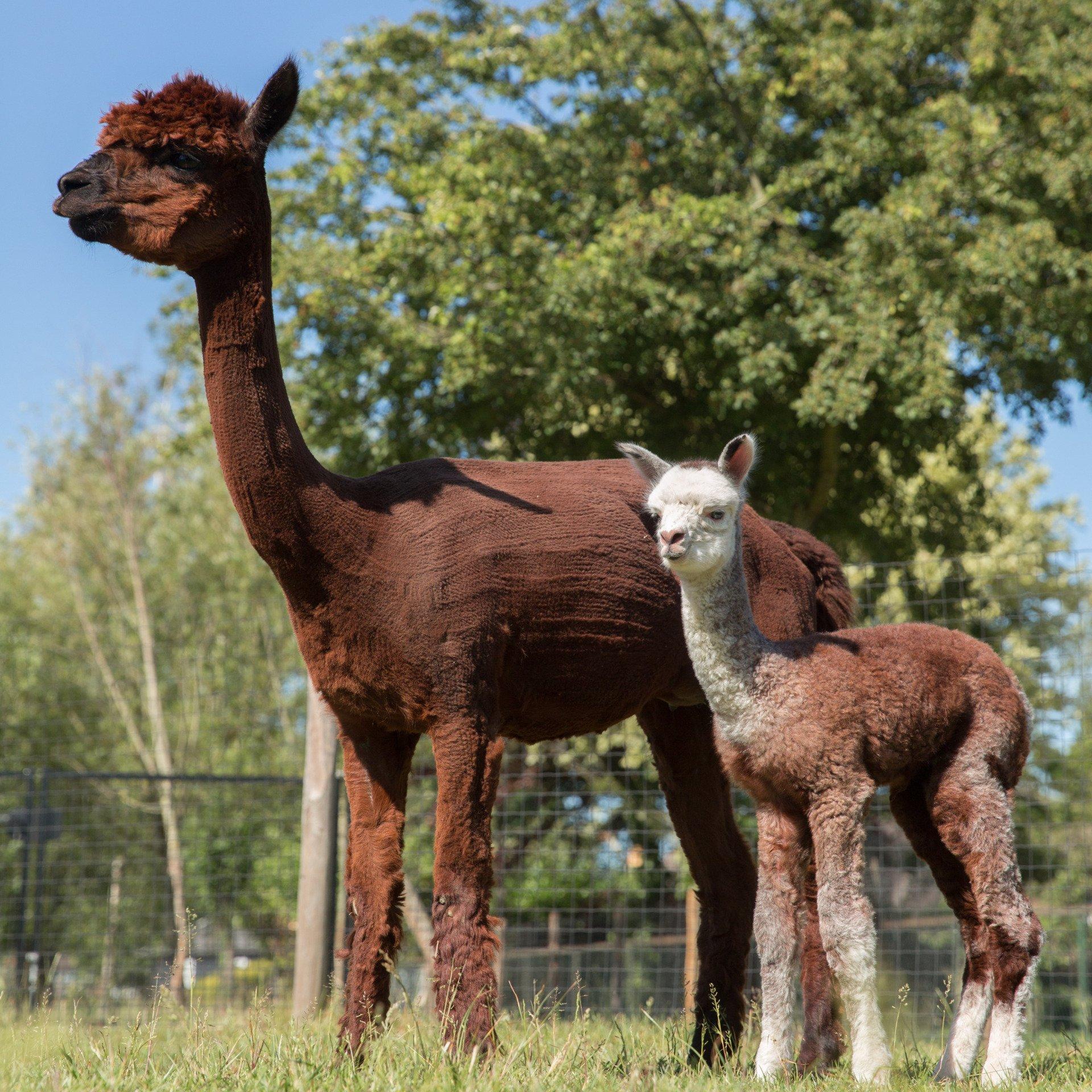 Inca Hollyhock (Holly) — aangeboden door Alpaca Bellatorem