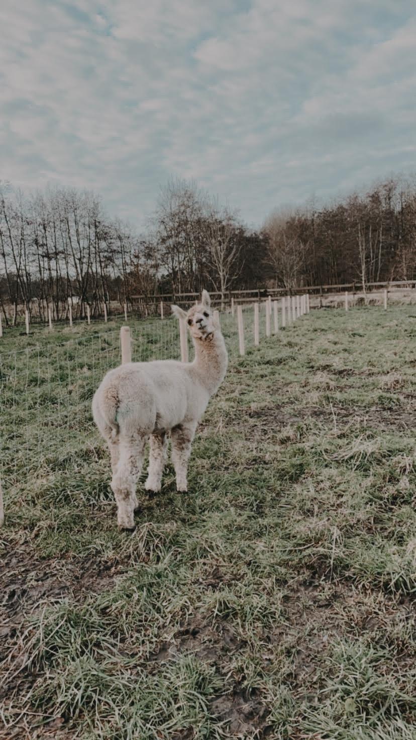 Macho — aangeboden door AlpacaOord