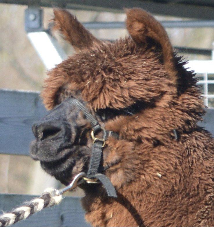 OL Chico — aangeboden door Alpaca-Osli