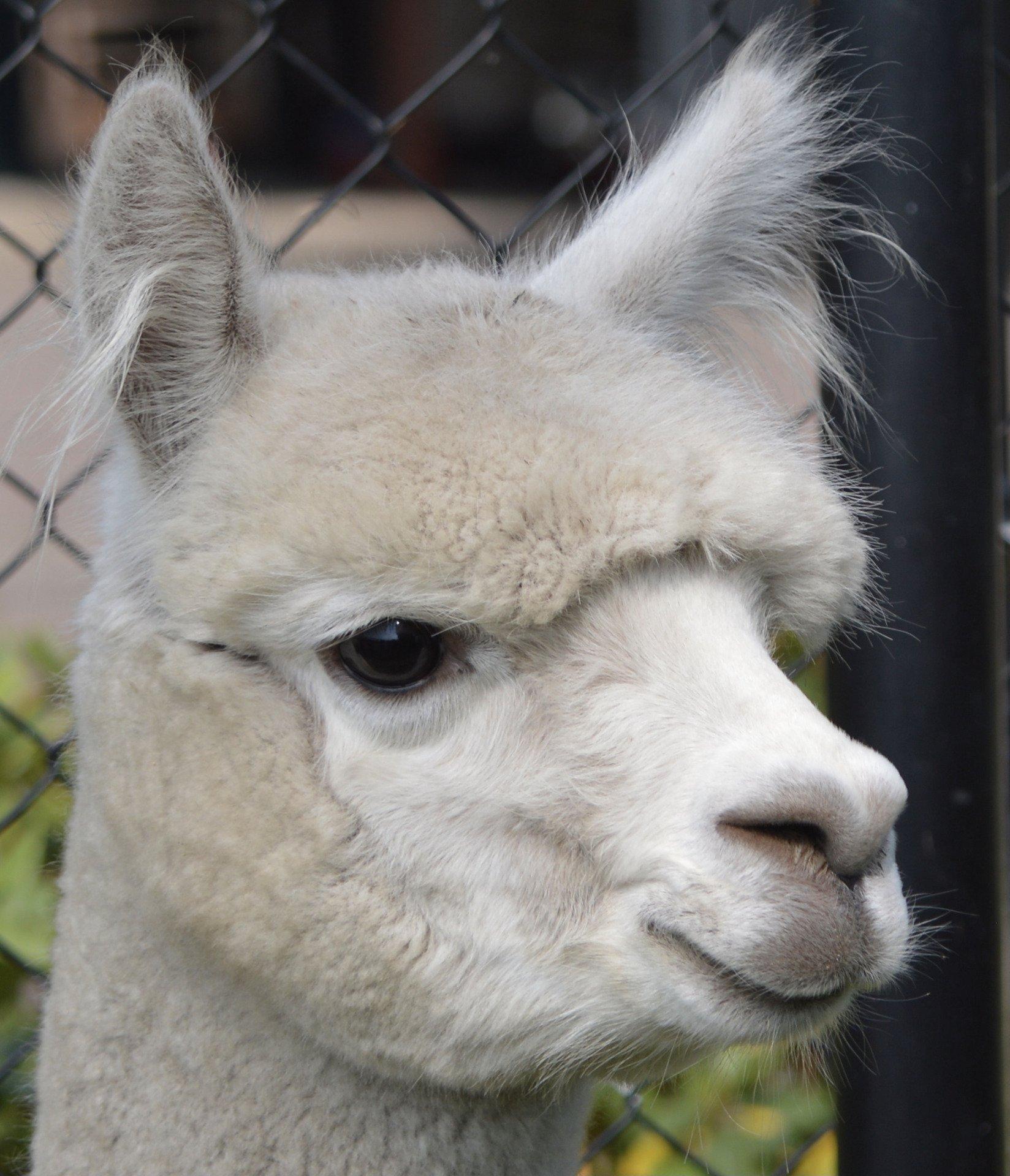 Quality Line Navajo — aangeboden door Quality Line Alpacas