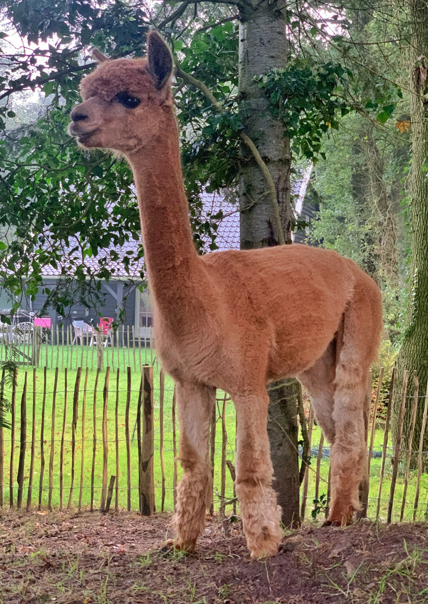 RF Guusje — aangeboden door Duerswâld alpaca's