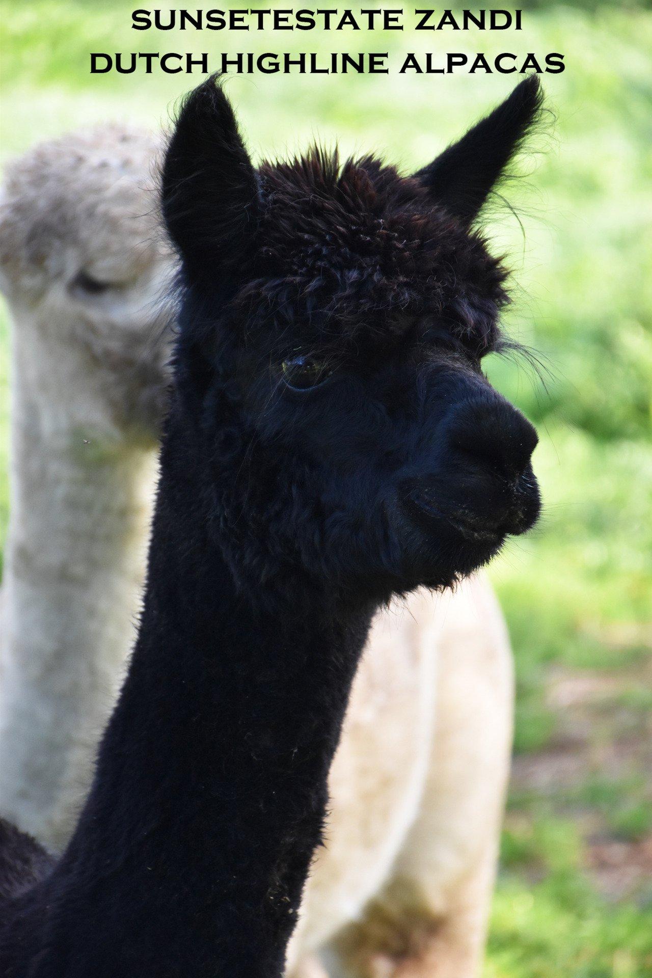 SUNSETESTATE ZANDI — aangeboden door Dutch Highline Alpacas
